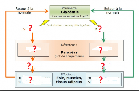 Regulation glycemie 1 min 1