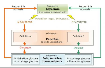 Regulation glycemie min 2